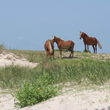 3 Wild Spanish Colonial Mustangs on the beach in the Outer Banks